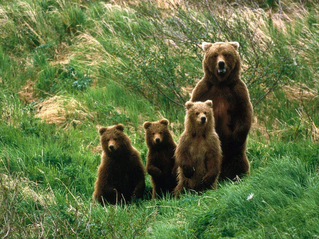 WILD BEARS PHOTOS | The Highlanders