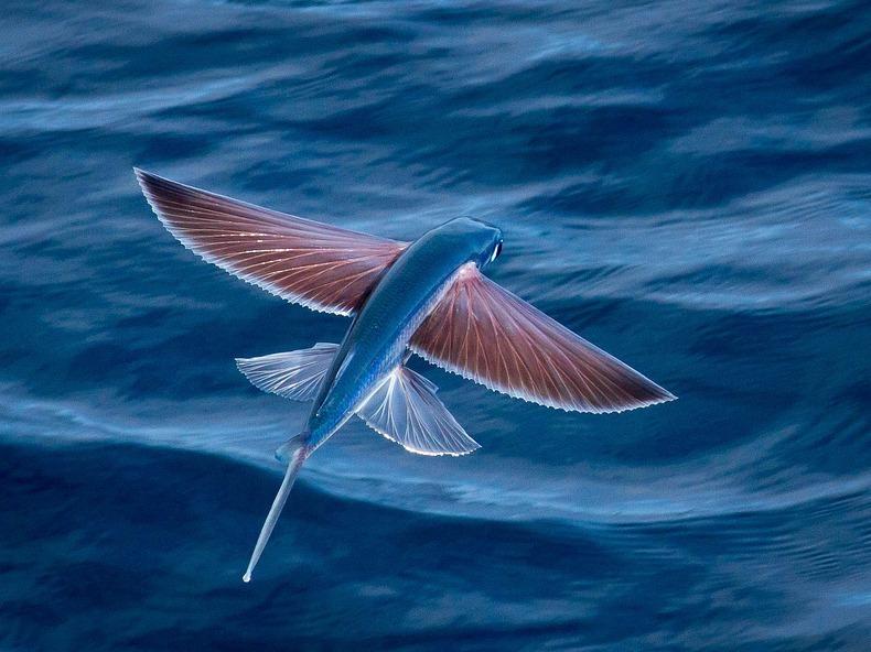 flying fish by cacodaemonia - photo #12