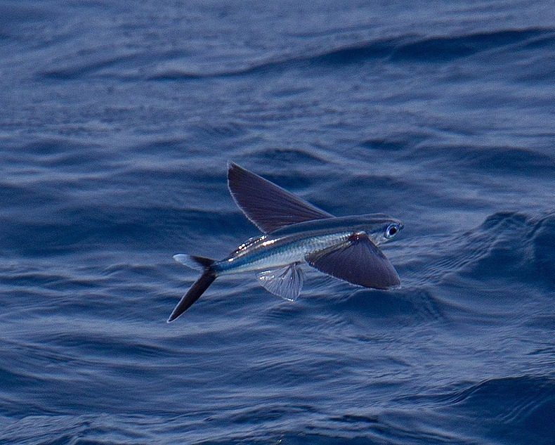 Exocoetidae the flying fish the highlanders for The flying fish